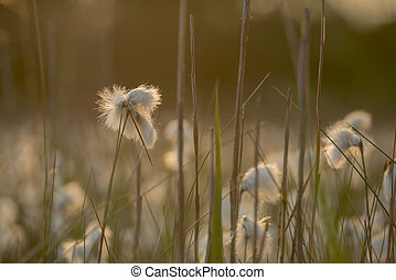Cottongrass Eriophorum angustifolium - Common cottongrass...