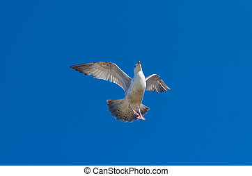 seagull against blue sky - seagull against a blue saturated...