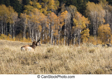 Pronghorn Buck Bedded - a pronghorn antelope buck bedded