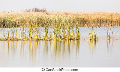 yellow reeds at the lake in nature in autumn
