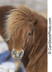 Shetland Pony - A Shetland Pony in the winter in South...