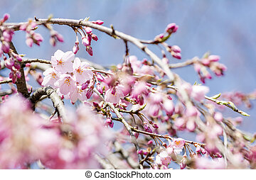 Cherry blossoms and buds - Weeping cherry blossoms in a lot...