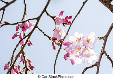Cherry blossoms and branches - Weeping cherry blossoms and...