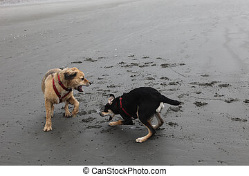 Two Dogs Playing - Golden Retriever and black and tan hound...