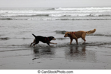 Dogs Playing on Foggy Beach - Black and Tan hound puppy...