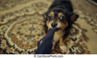 Dog Pulls the Cloth - moscow toy terrier played with a piece...