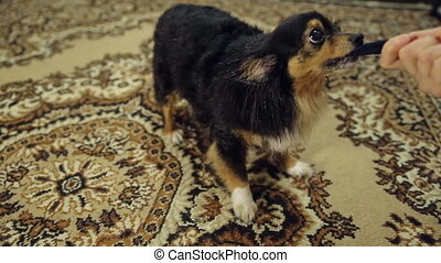Toy Terrier Pulls the Cloth