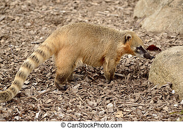 Ring-tailed Coati on ground - South American Coati, or...