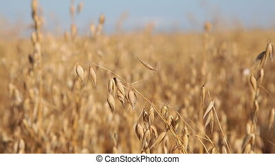 Field of Oats - Field of Ripening Oats