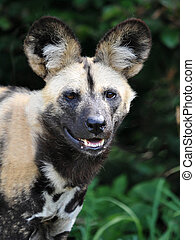 African wild dog lycaon pictus - African wild dog seen from...