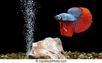 betta fish, siamese fighting fish in aquarium