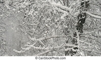 Snowfall in the Dense Forest - Large flakes of snow slowly...