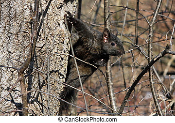 Black Squirrel In Afternoon Sun In Tree