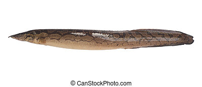 Bengal swamp eel fish, freshwater fish. - Bengal swamp eel...