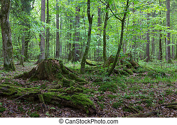 Deciduous stand of Bialowieza Forest in autumn with mossy...