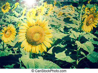 Sunflower  - Blooming field of a sunflowers