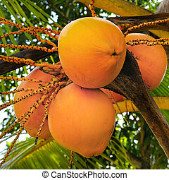 coconuts on a background of palm leaf