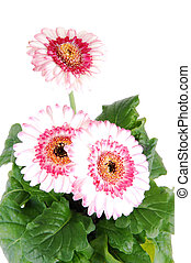 Gerbera in a flower pot.