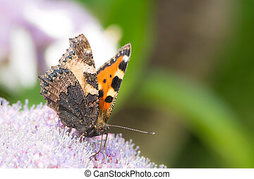 Small tortoise shell butterfly Aglais urticae on a hydrangea...