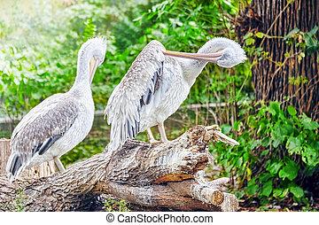 Couple Grey-White Pelican in nature(Pelecanus...