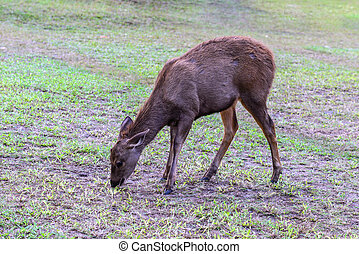 Yuong wild deer in forest, female.