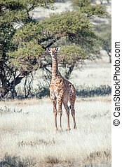 Young giraffe between acacia trees - A young giraffe between...