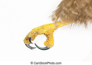 Detail of the claw and talons of a red-tailed hawk over a...