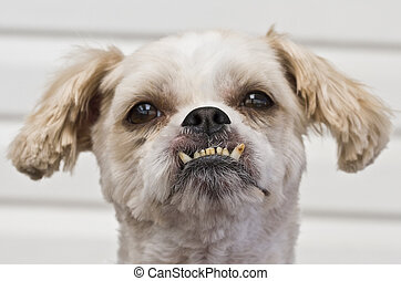 Maltese Shitzu cross breed with peculiar teeth