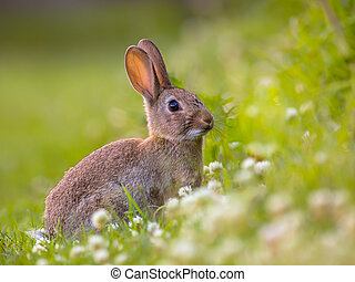 Watching Wild European rabbit - European Wild rabbit...