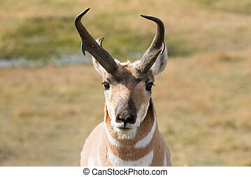 Pronghorn - Lamar Valley in Yellowstone National Park