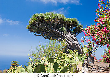 Dragon tree at La Palma, canary Islands