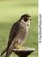 falcon bird