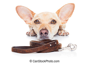 dog with leash - chihuahua dog waiting for a walk with...