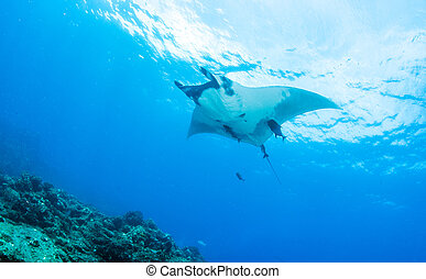 Manta Ray - Picture shows a Manta ray during a scuba dive