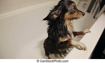 Wet Dog in the Bathroom - funny moscow toy terrier after...