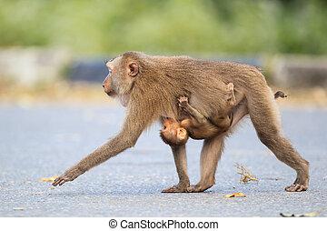 Pig-tailed Macaque(Macaca leonina) in Khaoyai national...