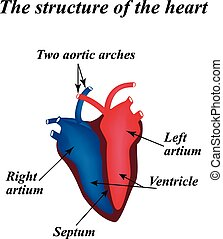 The structure of the heart Infographics Vector illustration...