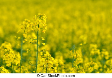 rapeseed field in spring - blooming rapeseed field in spring