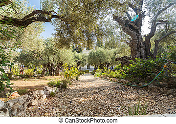 Garden of Gethsemane, Mount of Olives, Jerusalem - Garden of...