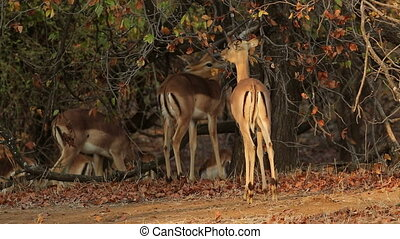 Impala antelopes Aepyceros melampus in natural habitat,...