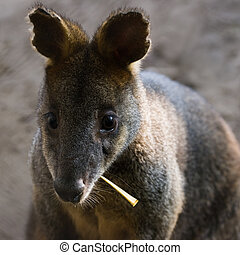 Swamp Wallaby eating leaf - Curious Swamp Wallaby eating...