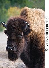 bisonte, o, búfalo