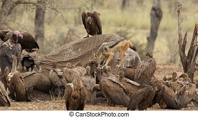 Scavenging vultures and jackal - White-backed vultures and a...