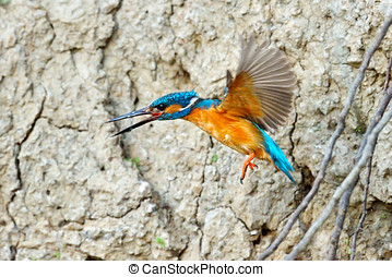 kingfisher alcedo atthis - kingfisher in natural habitat...