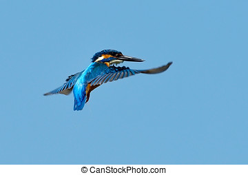 kingfisher in flight alcedo atthis outdoor
