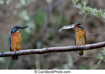 kingfisher in natural habitat alcedo atthis - kingfisher in...