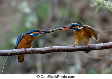 two kingfishers on branch in mating season alcedo atthis