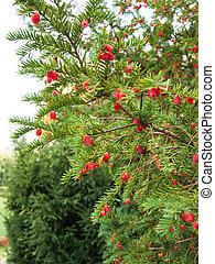Ripe yew tree berries - Red berries on lush green yew-tree...