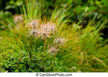 The pasque flower - The pasque-flower on the mountain meadow...