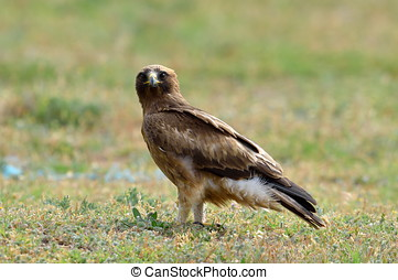 bird of prey on field aquila pennata